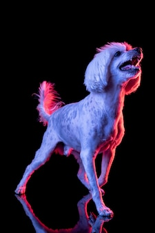 Implorando. retrato de engraçado animal de estimação ativo, bonito cão spitz posando isolado sobre a parede do estúdio em néon.