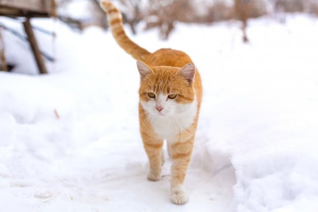 Importante gato vermelho caminha na neve