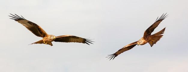 Impressionante aves de rapina em fligh