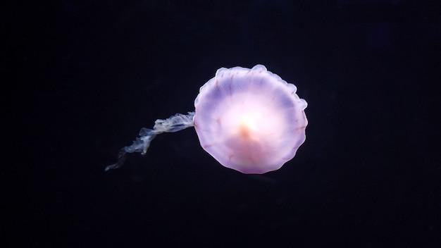 Impressionantes e lindas águas-vivas brancas e roxas nadando no fundo do mar