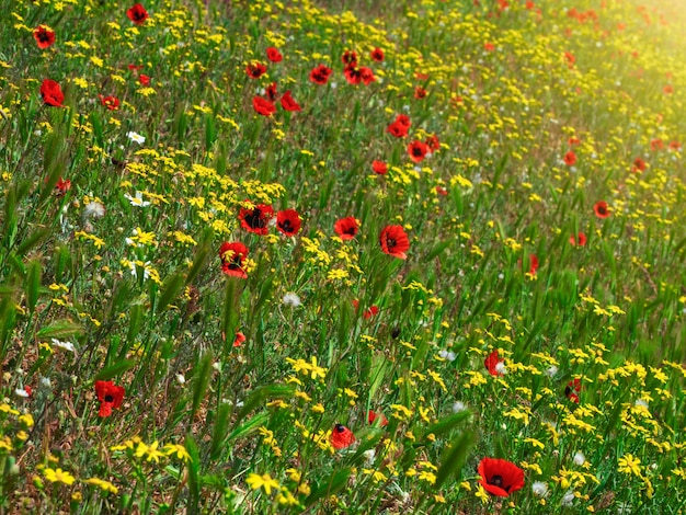 Inclinação da flor ensolarada de verão, grama misturada com papoilas da montanha. fundo floral natural.