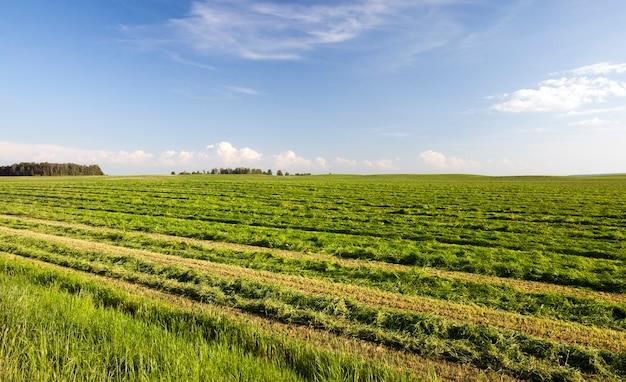 Inclinada e dobrada em fileiras de grama verde e suculenta para alimentar o gado, paisagem de verão