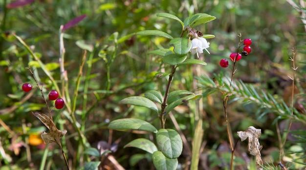 Incríveis flores de mirtilo em forma de sino. cranberries florescendo em um galho na floresta