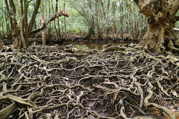 Incríveis raízes de árvores espalhadas por toda a floresta de mangue