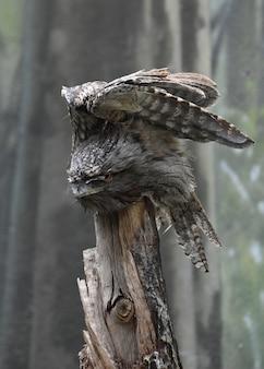 Incrível tawny frogmouth com as asas dobradas acima dele