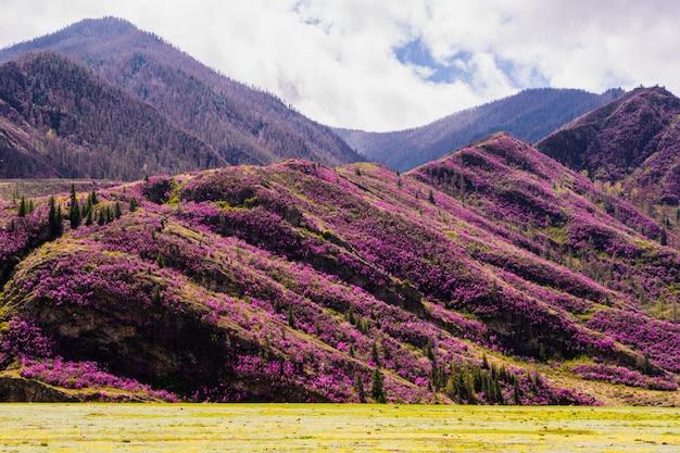 Incrível vista do vale de altai com colinas cobertas de flores roxas de maralnik