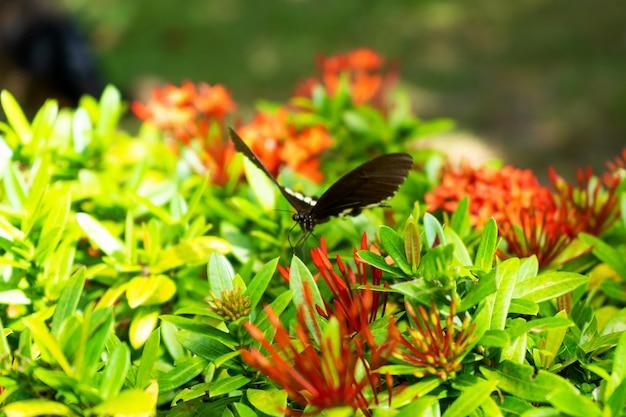 Incrivelmente lindo dia tropical borboleta papilio maackii poliniza flores. a borboleta preto e branco bebe o néctar das flores. cores e beleza da natureza