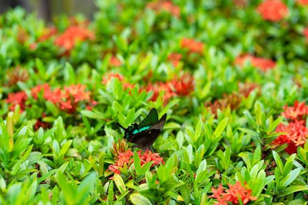 Incrivelmente lindo dia tropical borboleta papilio maackii poliniza flores. a borboleta verde-preta bebe o néctar das flores. cores e beleza da natureza