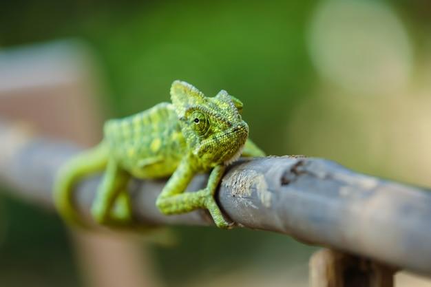 Índia camaleão verde