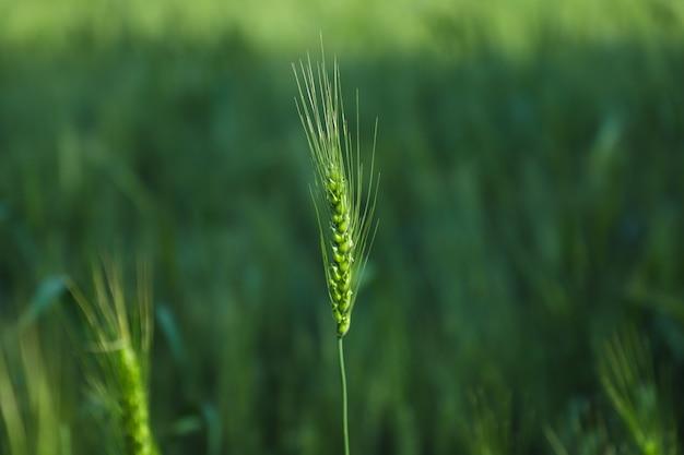 Índia de fazenda de trigo verde