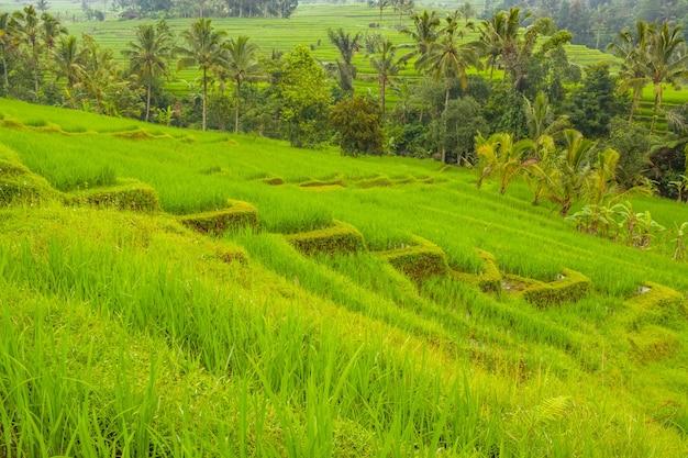 Indonésia. ilha de bali. terraços de campos de arroz e palmeiras. tempo nublado