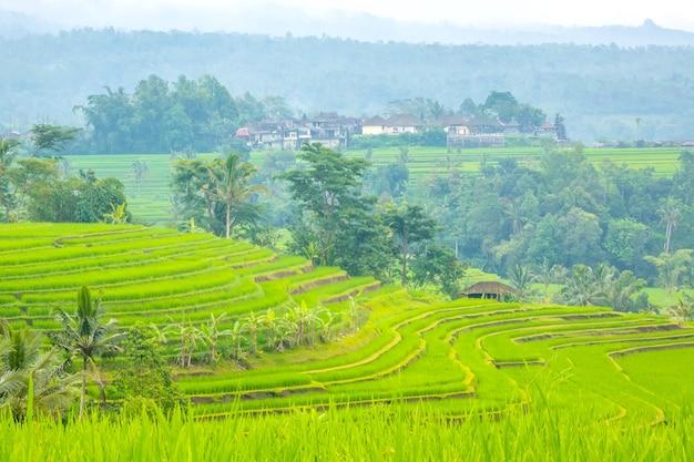 Indonésia. terraços de arrozais com vários níveis, palmeiras e cabanas após a chuva