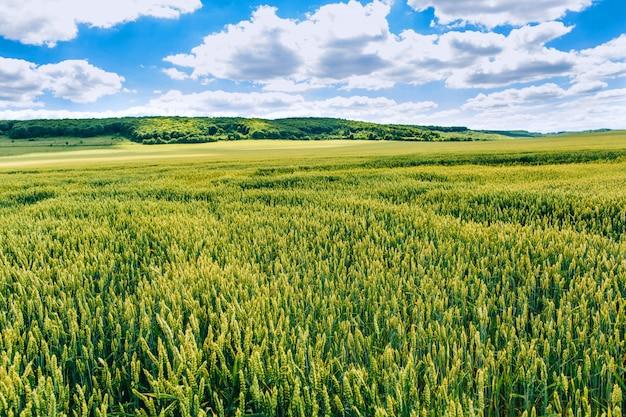 Indústria agrária. campo de trigo . campo verde com espigas de trigo no verão