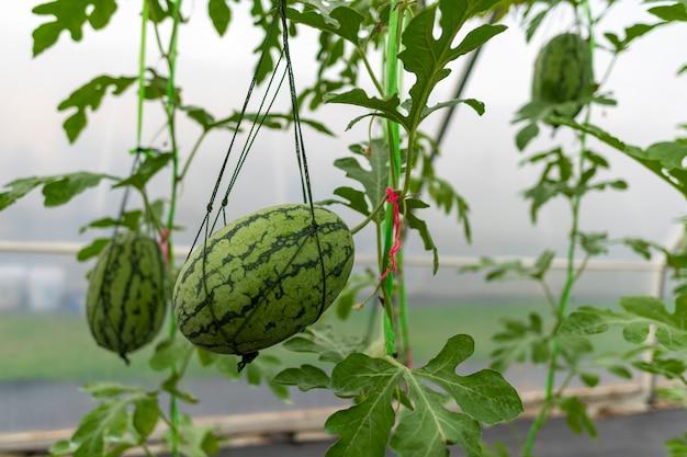 Indústria agrícola de cultivo de melancia em estufas