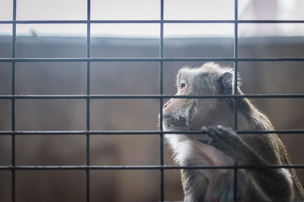 Infelizmente macaco na gaiola de aço, cena emocional aprisionada do animal primata.