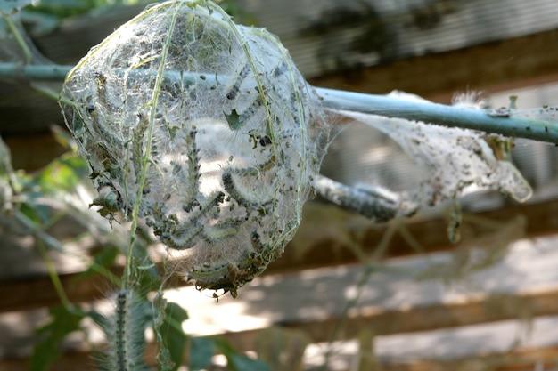 Infestado de lagartas e coberto com teias de aranha