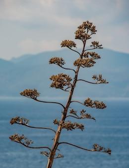 Inflorescência de agave seca contra o mar e montanhas à distância