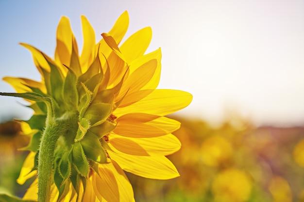 Inflorescência de girassol contra céu azul de verão