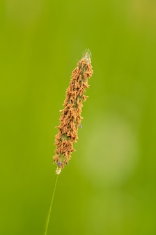 Inflorescência de grama foxtail em flor