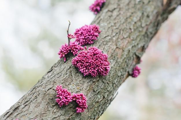 Inflorescências de roxo canadense no tronco de uma árvore na primavera. foco seletivo