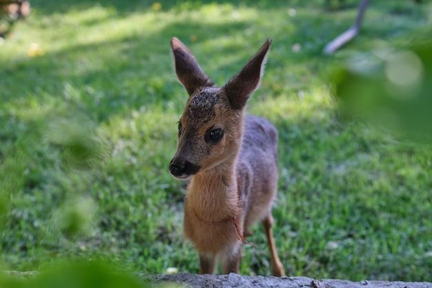 Inocente corço de corça. veado selvagem jovem. pouca moralidade. filhote de veado. cervos descansando