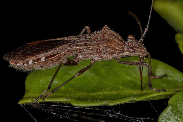 Inseto adulto de cabeça larga da subfamília alydinae