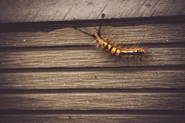 Inseto de inseto animal caterpillar na natureza andando na parede de madeira velha de fundo jardim