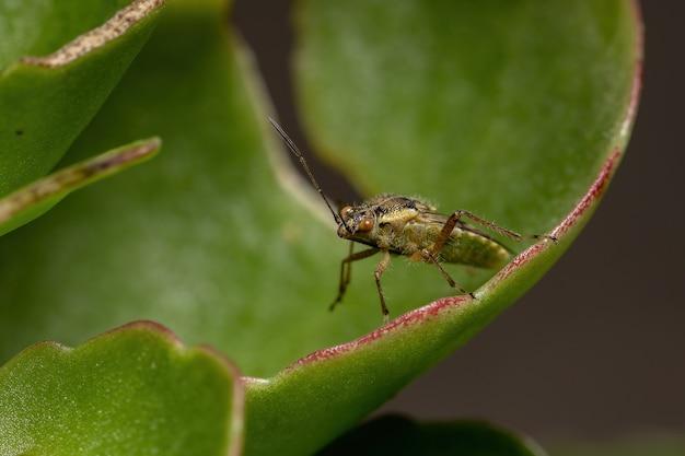Inseto de planta adulta sem cheiro da família rhopalidae