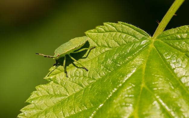 Inseto escudo verde na borda da folha