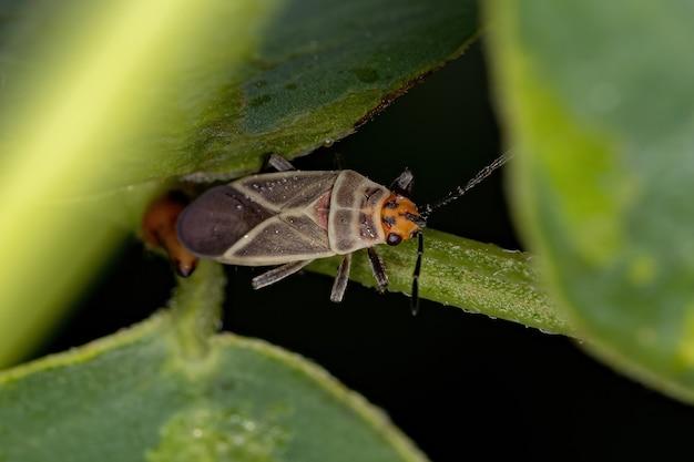 Inseto semente adulto da família lygaeidae