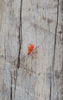 Insetos da sumaúma na madeira, probergrothius nigricornis, um redbug comum com cara de homem da tailândia