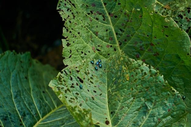 Insetos verdes brilhantes pragas besouros pulgas em folhas de plantas estragadas por eles