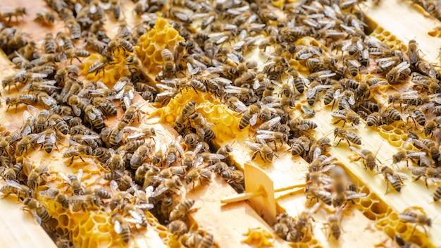 Inspeção da colônia de abelhas em um apiário na primavera
