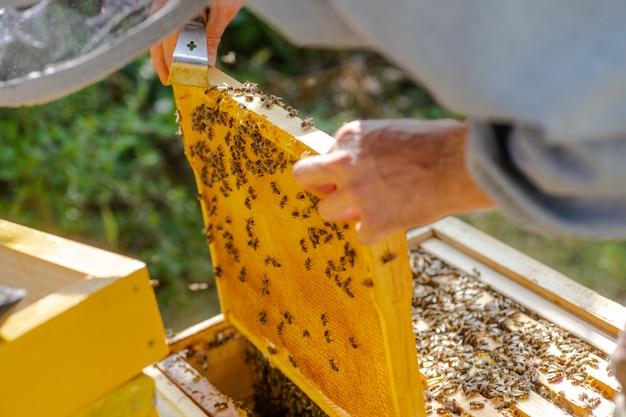 Inspeção de famílias de abelhas no apiário no conceito de apicultura de primavera.