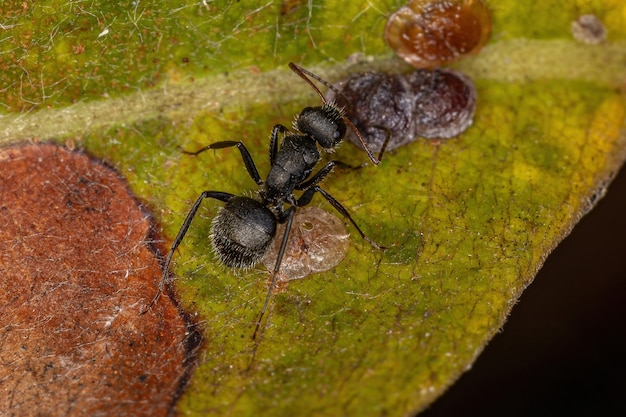 Interação simbólica entre formigas carpinteiras do gênero camponotus e cochonilhas da superfamília coccoidea em uma planta