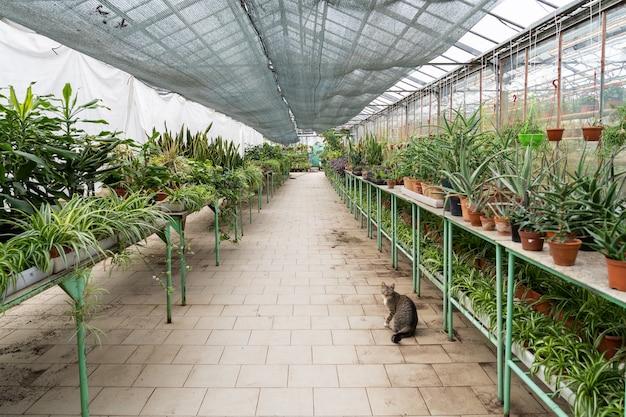 Interior da estufa com fileiras de plantas caseiras crescem em vasos para venda de plantas caseiras verdes em estufa