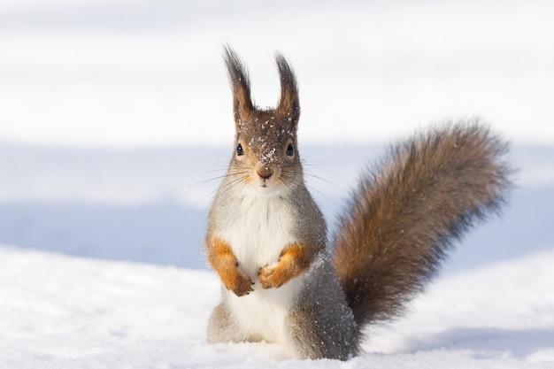 Inverno de neve esquilo