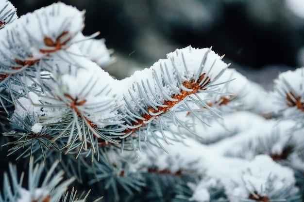 Inverno frio neve geada abeto de perto