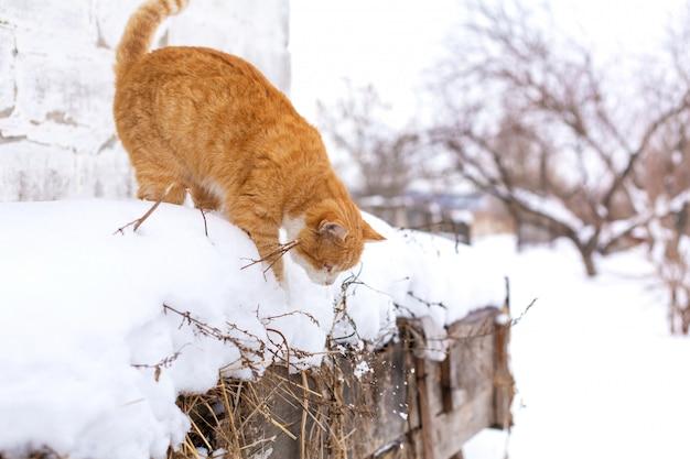 Inverno. gato vermelho pulando na neve