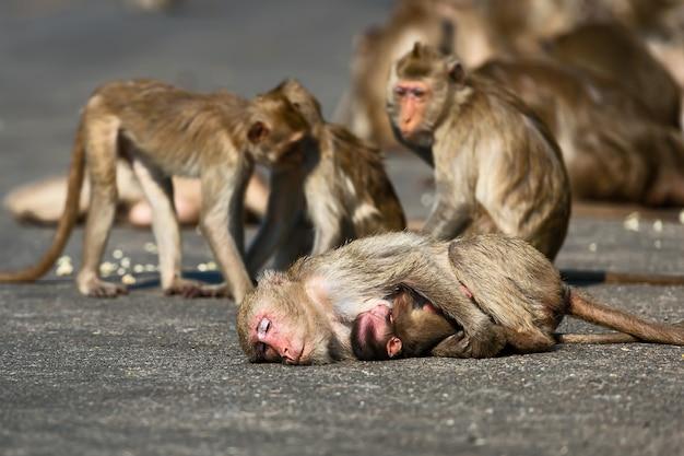 Inverno na tailândia um macaco selvagem aparece no meio de uma estrada secundária.