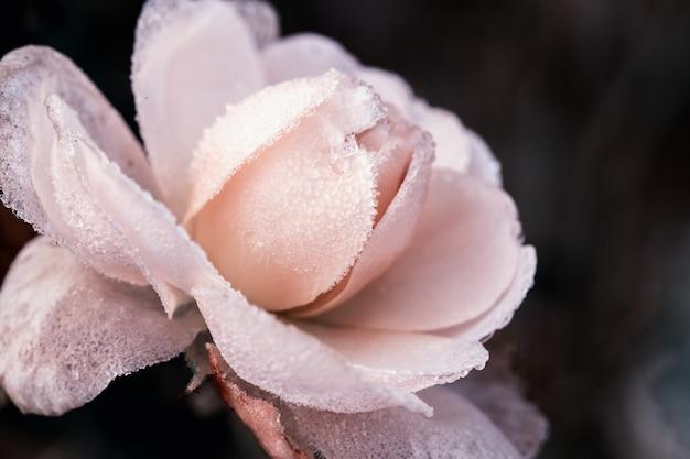 Inverno no jardim. geada nas pétalas de rosa rosa, a primeira geada. efeito matizado, profundidade de campo rasa