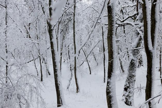 Invernos frios e com neve, totalmente cobertos por árvores caducifólias de neve no inverno, árvores que crescem no parque ou na floresta na neve branca após uma queda de neve