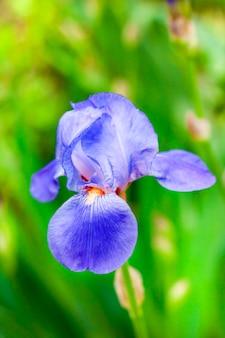 Íris azul flor closeup no fundo verde do jardim