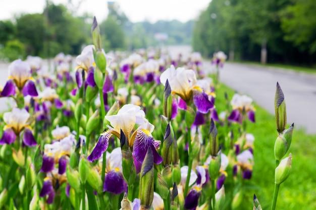 Íris brancas e roxas no canteiro de flores à beira da estrada
