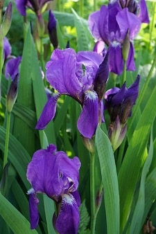 Íris flores desabrochando brunch no jardim