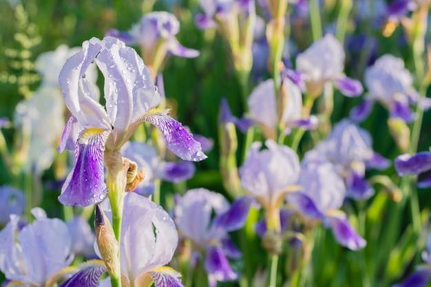 Íris roxa com gotas de água - imagem ascendente próxima com uma flor