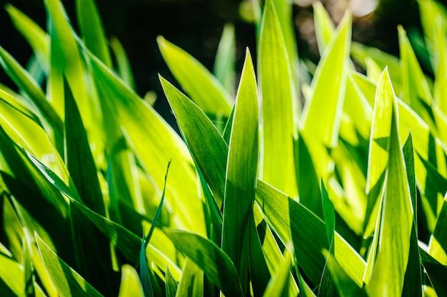 Íris verde, amarela folhas selvagens campo de flores em flor.