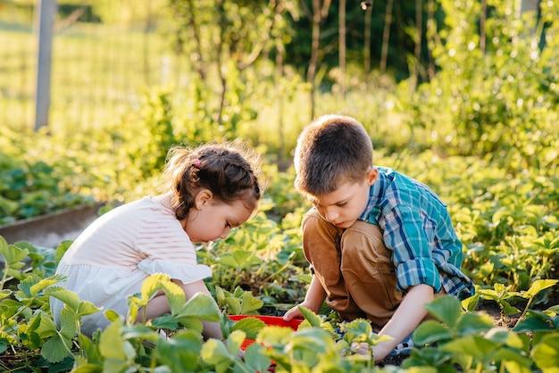 Irmão e irmã menores bonitos e felizes em idade pré-escolar coletam e comem morangos maduros no jardim em um dia ensolarado de verão