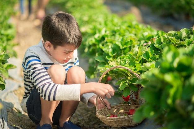 Irmãos asiáticos meninos colhendo morango orgânico na fazenda
