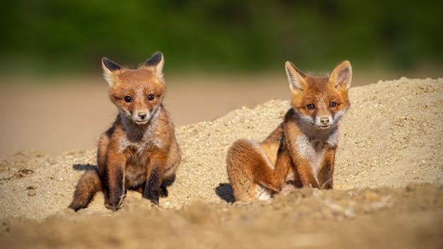 Irmãos da raposa vermelha sentados em uma areia sob o sol da primavera